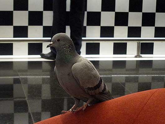 デリー空港の鳩