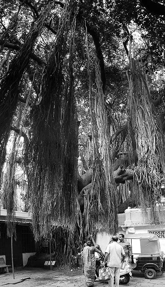 バンガロール 近所の木