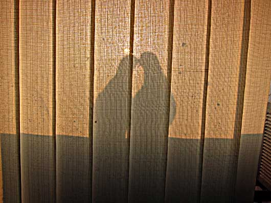 バンガロール 鳩のご夫婦