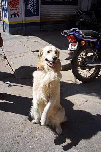 バンガロール チンチンをする犬