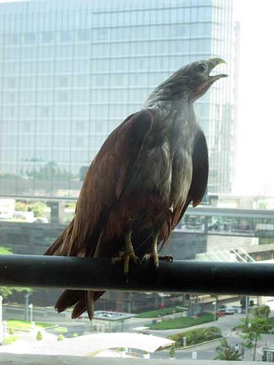 バンガロール ベランダの鷲
