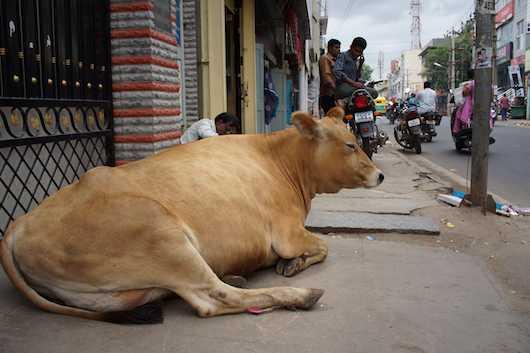 バンガロール 牛