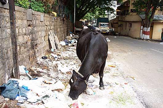 バンガロール 牛とカラス