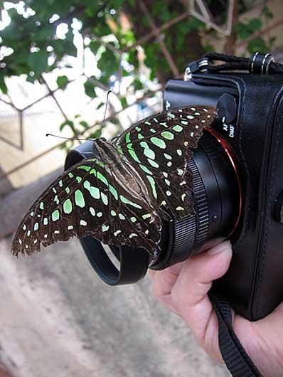 バンガロール カメラが好きな蝶