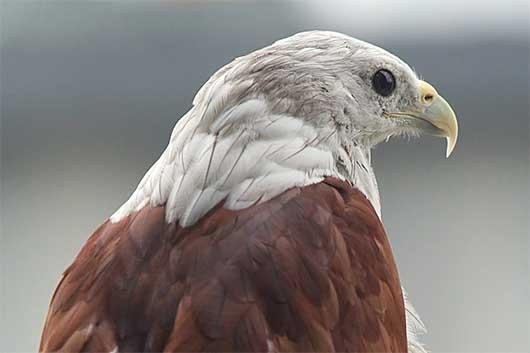 バンガロール 鷲のポートレート