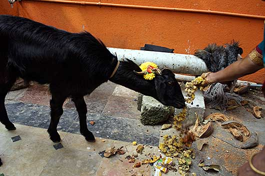 バンガロール 生け贄の山羊