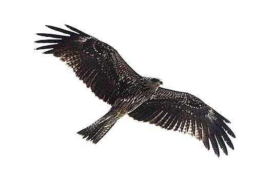 バンガロール 鷲