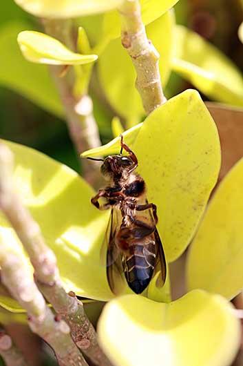 バンガロール ハチの奇妙な行動