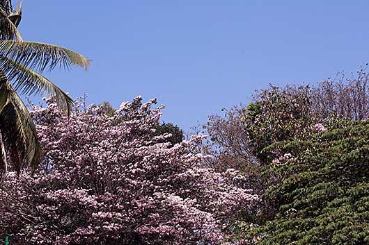 バンガロール 桜?