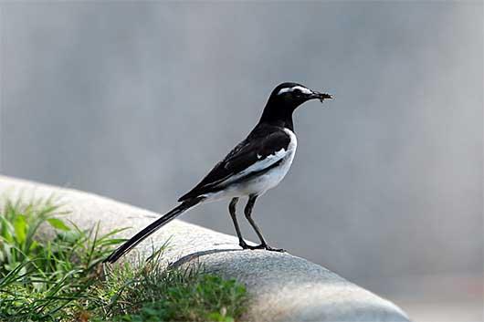 バンガロール 野鳥