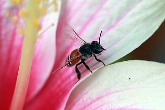 バンガロール 蜂