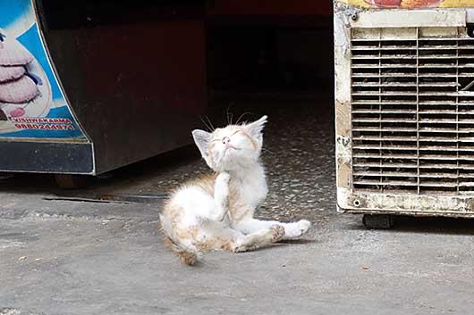 バンガロール 子猫