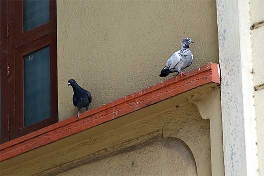バンガロール 黒い鳩と斑の鳩