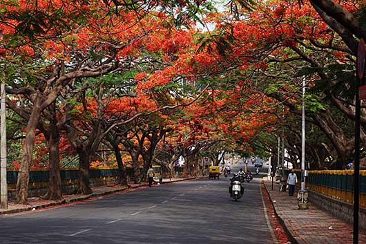 バンガロール 鳳凰木並木