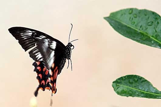 バンガロール アゲハチョウ