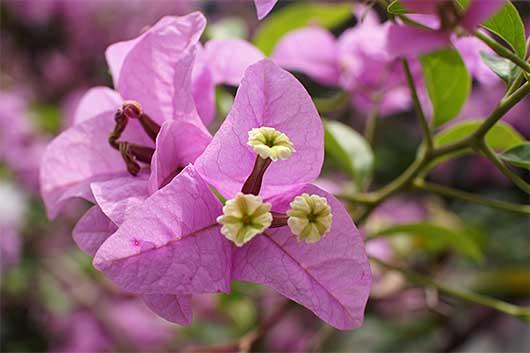 バンガロール ブーゲンビリア 三つの花