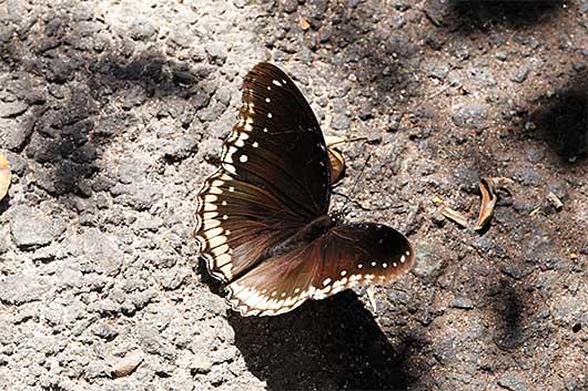 バンガロール 蝶