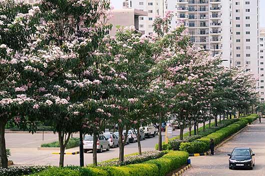 バンガロール 桜並木もどき