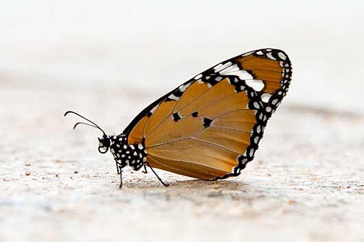 バンガロール まだら蝶