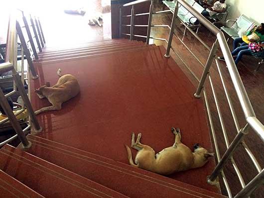 ベンガルール 階段に寝そべる犬
